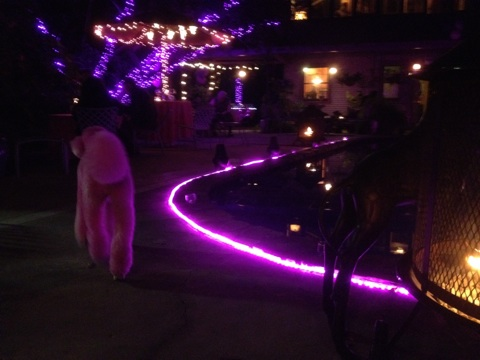 Pink Poodle @ Purple House Party by the Pool